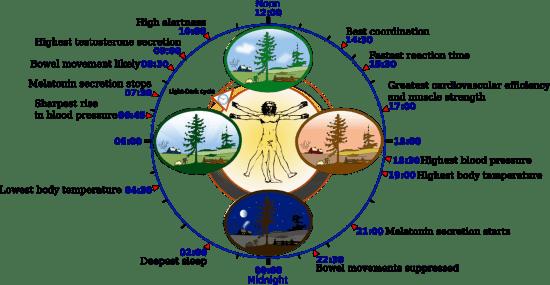Horarios del Cuerpo Humano (1/2)