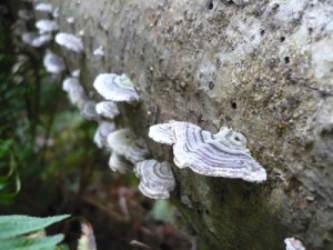 Ayum-Creek-Turkey tail mushroom-400x300-Torrey-Archer