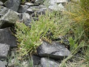Selkirk-Gorge-Covenant-Sea-asparagus-Salicornia-spp-x300-Torrey-Archer
