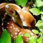 Baby-Deer-credit-Marcie-Ambeault-1240x700.jpg