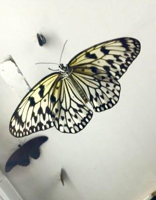 Rice Paper Butterfly by Julian Wilson