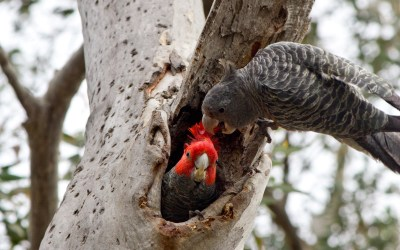 Save our native mature trees – pillars of biodiversity