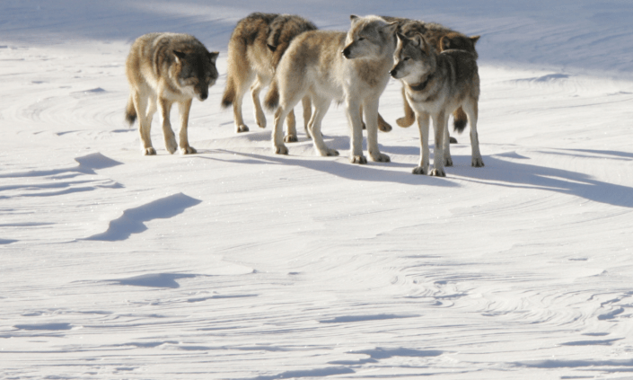 Picture of a pack of grey wolves in a snow-covered field