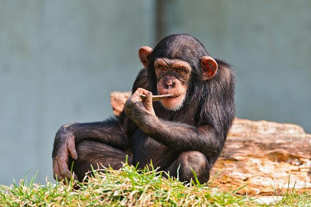 Front view of seated chimpanzee chewing on a stick