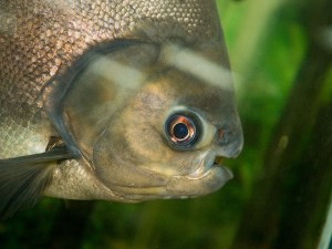 side view of Brazilian Pacu fish in water