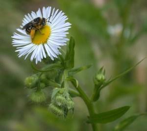 Native pollinator on fleabane.