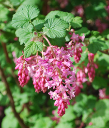 Native bees love red flowering currant!