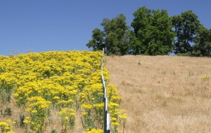Tansy Ragwort is manageable. (Photo: Eric Coombs, ODA)