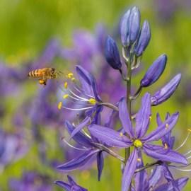 Pollinator visiting camas (photo by Jason Faucera)