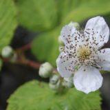 Blackberry flower 800x400