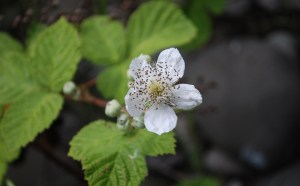 Blackberry flowers have five white to pale pink petals.