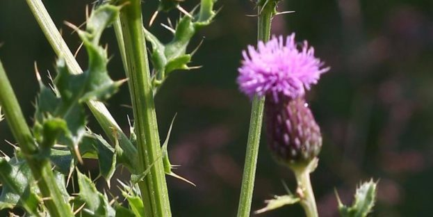 Canada thistle 4 County CWMA