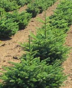 Local Christmas tree field