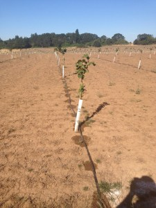 Drip irrigation in hazelnut orchard Jeremy Baker