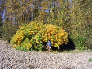 Japanese knotweed plants turn yellow in September. Time to act!