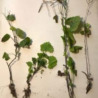 Garlic mustard fall growth