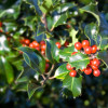 Green leaves and red berries of English holly