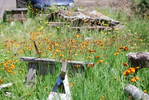 Orange hawkweed quickly spreads out of control.