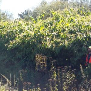 WeedWise staff Jeff Lesh with flowering knotweed.