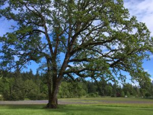 Interested in Oregon white oak? We can help!