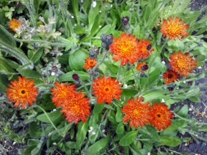 Don't let the attractive flowers of orange hawkweed fool you!