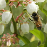Pollinator-on-Blueberry-800x400
