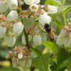 Pollinator on Blueberry photo by Jeremy Baker