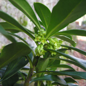 Spurge laurel has small, fragrant flowers.