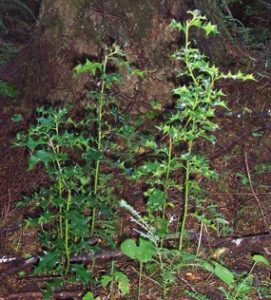 New holly plants can quickly dominate the under story of our forests.
