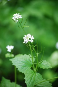 Garlic mustard flowers soon become seed pods, with each plant producing up to 5000 seeds!