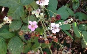Invasive blackberry photo by Sam Leininger