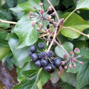 English ivy berries develop on mature plants.