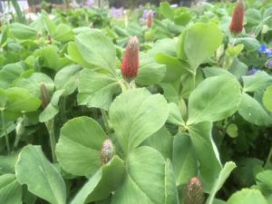Red clover is a great cover crop that fixes nitrogen in the soil.