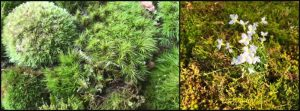 There are two kinds of moss. Photo by Cathy Burk