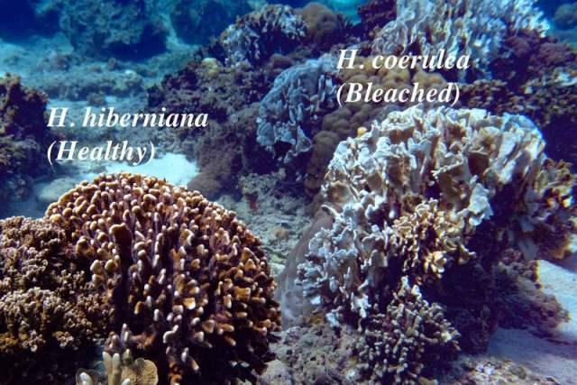 heliopora species