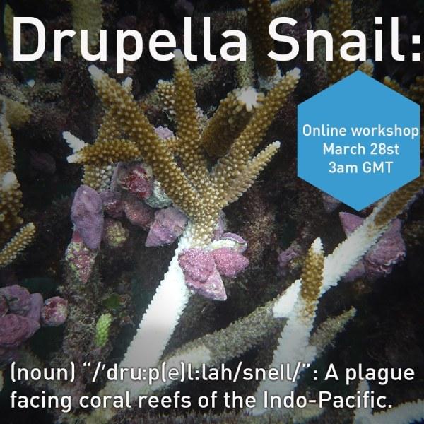 Drupella snail