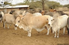 Herd of Boran cattle at Suyian ranch, these will be used to improved breed at Oloisukut conservancy