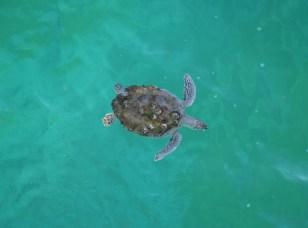 Green sea turtle at Navarre Beach Pier.