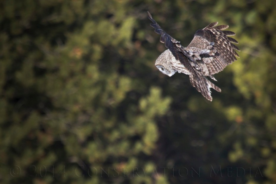 A great grey owl hovers moments before dive bombing a vole.