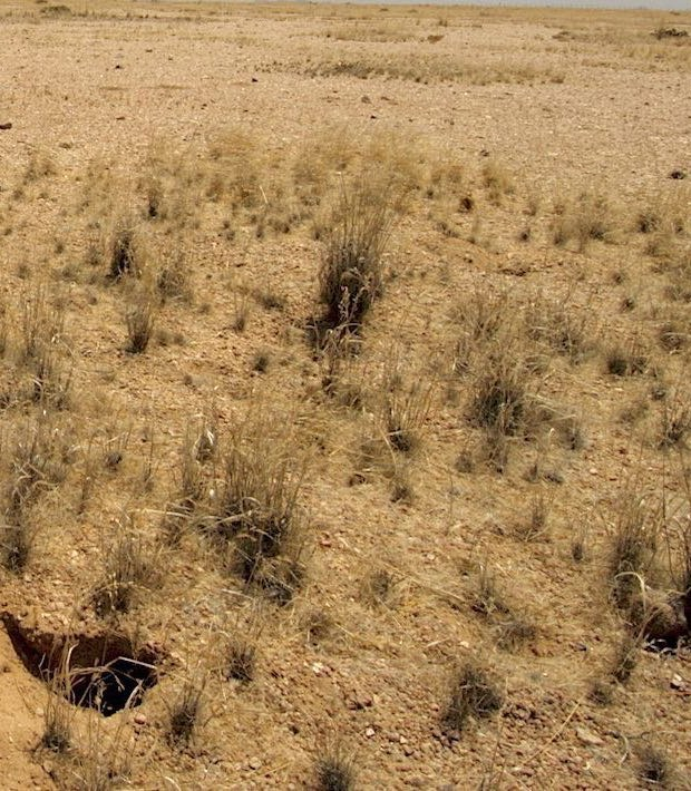 Vegetation flourishes close to burrows.