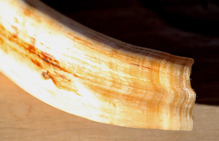 Distinctive colour patterns in layers on a warthog tusk.
