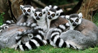 Ring-tailed lemurs (Photo credit: GeoCaching)