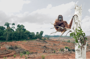 Figure 2. Orang-utan facing the full effects of deforestation due to oil palm plantations. (Source: www.rainforest-rescue.org)
