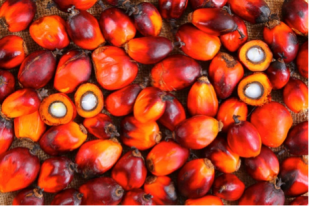 Figure 1. The fruit of the oil palm, from which palm oil is derived. (Source: www.geographical.co.uk/places/wetlands/item/562-palm-oil-linked-to-stream-damage)