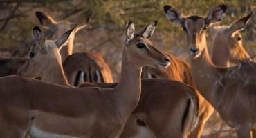 Impala femelle