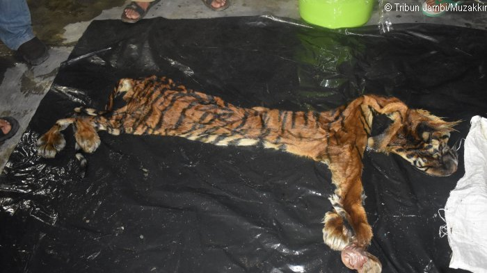 Poachers Arrested With Sumatran Tiger Wildcats