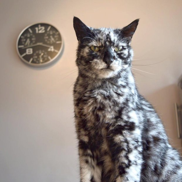 """Meet Scrappy, the cat that turned black and white. The 19-year-old turns heads thanks to the marble-like effect of monochrome patches of fur. Owner Dave Platt, a builder from Yorkshire, explains: """"Scrappy was jet black as a kitten. But when he was seven my mum was looking after him and rang me to say a white patch had appeared on his head. We took him to the vet as we thought he might have had a stroke. At that time, the vet couldn't explain what was causing it. In the next few years, Scrappy began to get more and more white patches, then it slowed down. But in the last three or four years it has started again. More recently, a vet identified that Scrappy could possible have vitiligo. We don't know, but he may turn completely white."""" Vitiligo is the same condition that caused Michael Jackson's skin to lighten. More common in humans, the long-term condition sees pale white patches develop on the skin. It is caused by the lack of melanin, a pigment in the skin. Dave says: """"People started noticing Scrappy's unusual appearance when he went out and would come to see him; even the postman takes pictures. People seem to love cats so it is nice that people around the world might get to enjoy pictures of him. He is getting on a bit in age but is still active and playful. That said, he does have his grumpy moments, as I guess we all do in old age. He doesn't mind having his picture taken, but it is definitely him who decides when he wants to be photographed. A little bit of chicken usually aids the process. Can he handle fame? Well, Scrappy is a bit of a diva sometimes. """" Where: Yorkshire, United Kingdom When: 15 Dec 2016 Credit: David Platt/Cover Images **All usages and enquiries, please contact Glen Marks at glen.marks@cover-images.com - +44 (0)20 3397 3000**"""