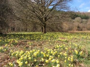 Wild daffodils in Dunsford Wood, Devon