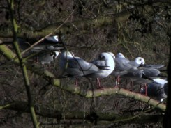 Most of these are still looking fairly wintry. The gull with a white ring on one leg is 27L0, ringed as a youngster in 2013 just up the road at Lea Farm.