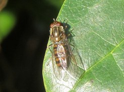 Marmalade hoverfly basking in the sun.